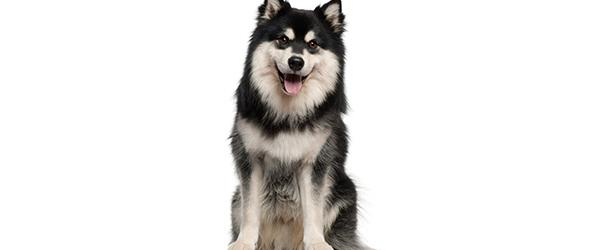 Koiran Pohjavillan Poisto